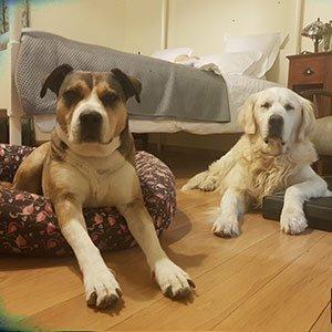 dos perros descansando en la habitación de un hotel